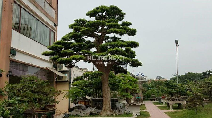 Cây Tùng La Hán được rất nhiều người ưa chuộng
