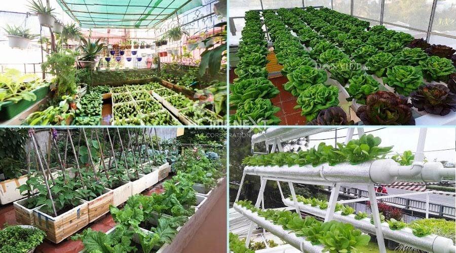 Vườn rau xanh mướt làm cho nhiều người thích thú